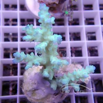 Acropora batunai pointe bleu acro899