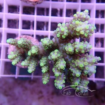 Acropora anthocercis rose acro905