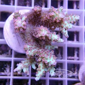 Acropora microclados strawberry shortcake acro910