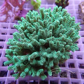 Seriatopora calendrium SC161