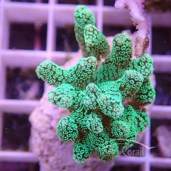 Seriatopora calendrium SC164