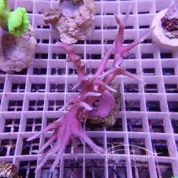 Seriatopora hystrix rose SH258