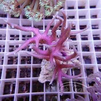 Seriatopora hystrix rose SH259