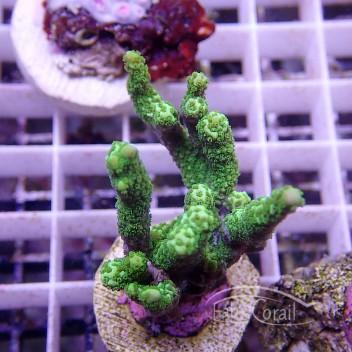 Montipora stellata vert monti685