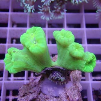 Caulastrea vert fluo caula161