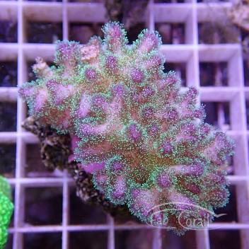 Pocillopora rose pocillo123