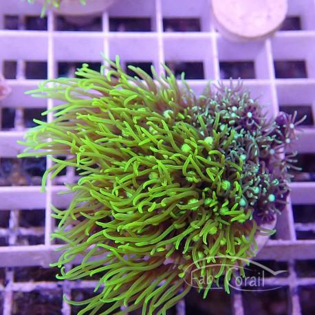 Pachyclavularia vert pachy64