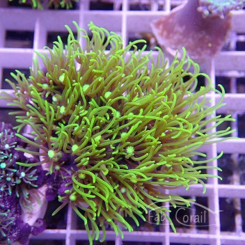 Pachyclavularia vert fluo duo pachy65