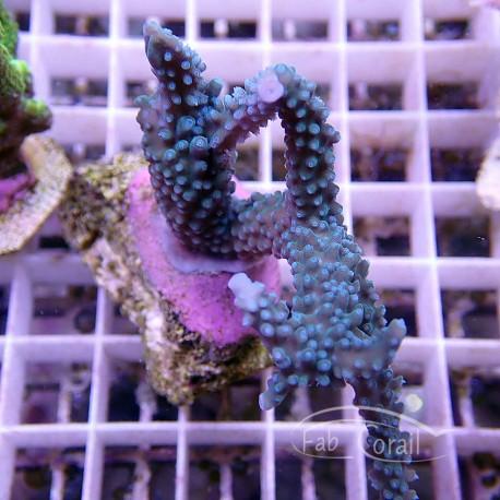 Acropora tenuis bleu claire acro915
