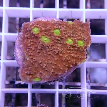 Echinophyllia echino53