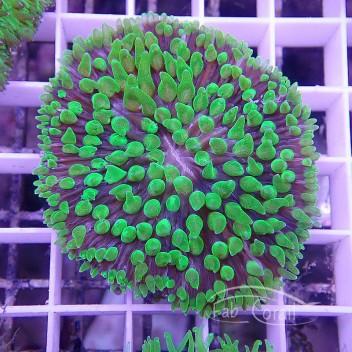 Clycloseris vert Fungia92