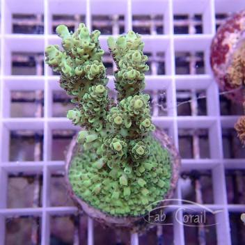 Acropora hyacinthus acro580