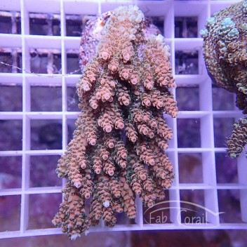 Acropora hyacinthus acro946