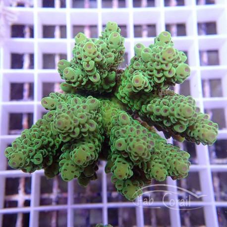 Acropora anthocercis acro958