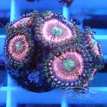 Zoanthus Pink zipper Z192