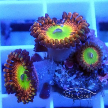 Zoanthus lord of ring Z204