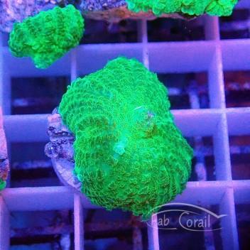Rhodacthis vert disco112
