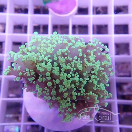 Euphyllia divisa vert fluo euphy745