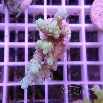 Acropora sp jaune acro1166