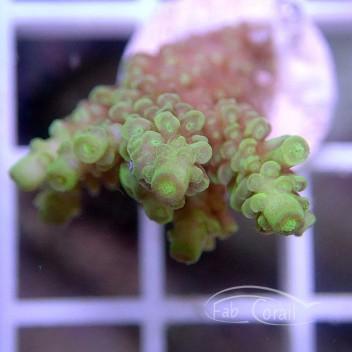 Acropora tenuis jaune indonésie acro1183