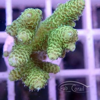 Acropora millepora vert indonésie acro1196