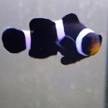 Amphiprion ocellaris noir