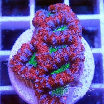 Acanthastrea lordhowensis ultra AL1307