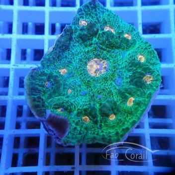 Echinophyllia echino70