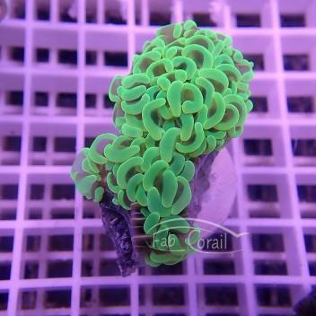 Euphyllia ancora toxic green euphy800