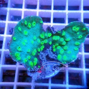 Echinopora lamellosa gris vert EL25