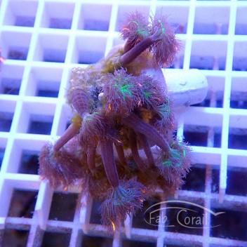 clavularia tricolor clavu54