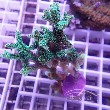 Seriatopora calendrium SC183