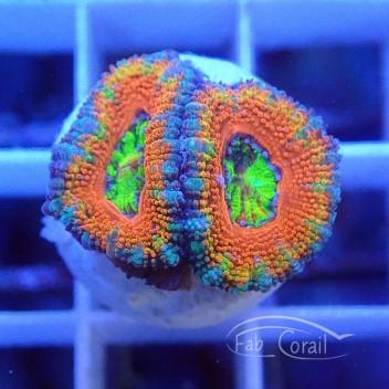 Acanthastrea lordhowensis chimère ultra/rainbow AL1372