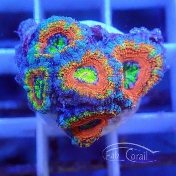 Acanthastrea lordhowensis rainbow AL1373