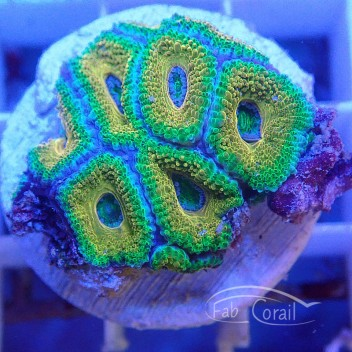 Acanthastrea lordhowensis ultra AL1375