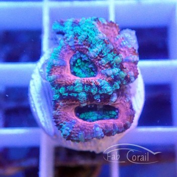 Acanthastrea lordhowensis ultra AL1376