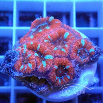 Acanthastrea lordhowensis AL1383