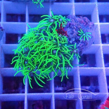 Pachyclavularia vert fluo pachy79
