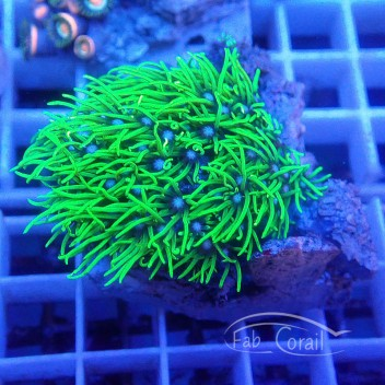 Pachyclavularia vert fluo pachy81