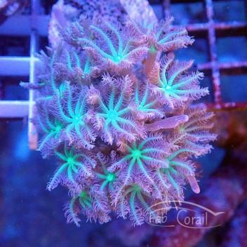 clavularia coeur vert clavu55