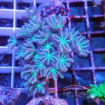 clavularia coeur vert clavu57