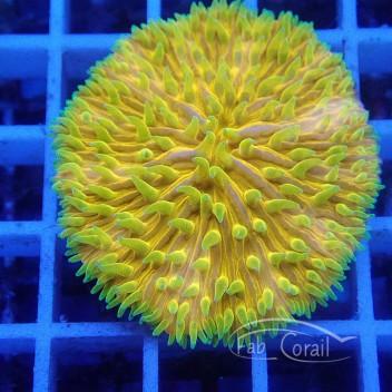 Fungia orangé fungia116