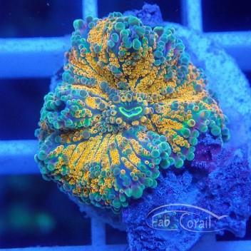 Rhodacthis orange ultra disco133
