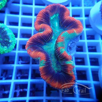Trachyphyllia rouge trachy107