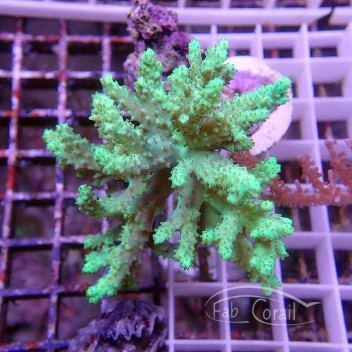 Sinularia flexibilis vert L sinu90