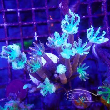 clavularia tricolor clavu60