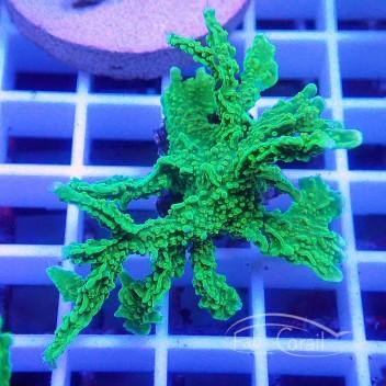 Montipora stellata vert monti760