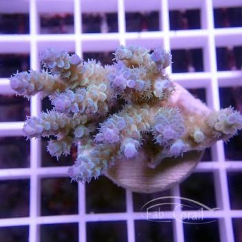 Acropora tenuis bleu acro1521