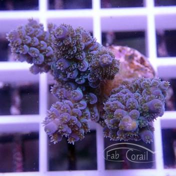 Acropora tenuis bleu acro1526