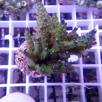Acropora subulata tricolor souche indonésie acro1232